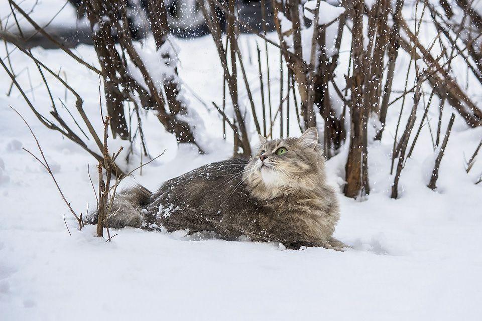 ***Снежная прогулка фото животных домашние животные кошки зима снег сквер кусты кошка Масяня