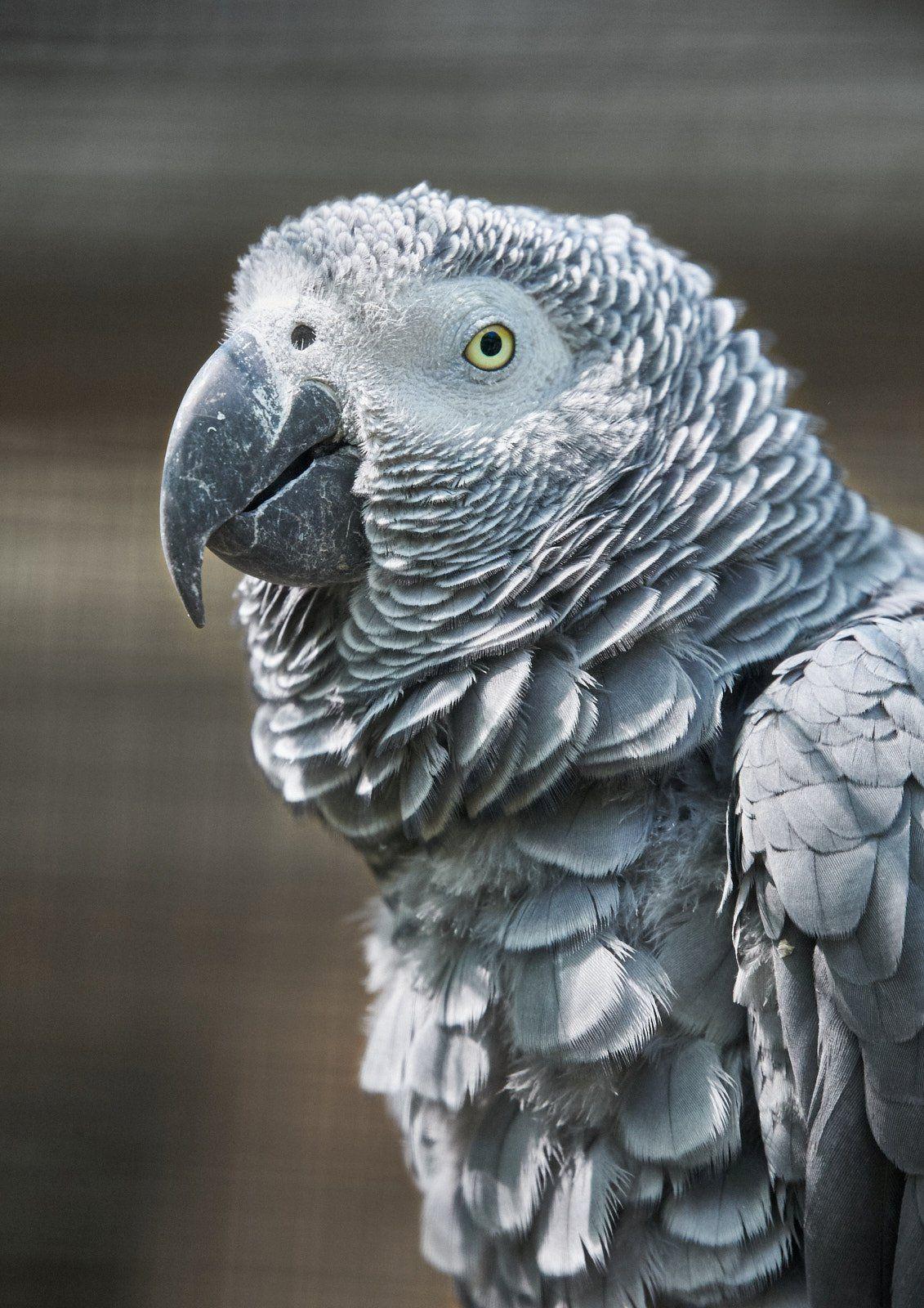 Портрет жако - 14 лет спустя жако попугай