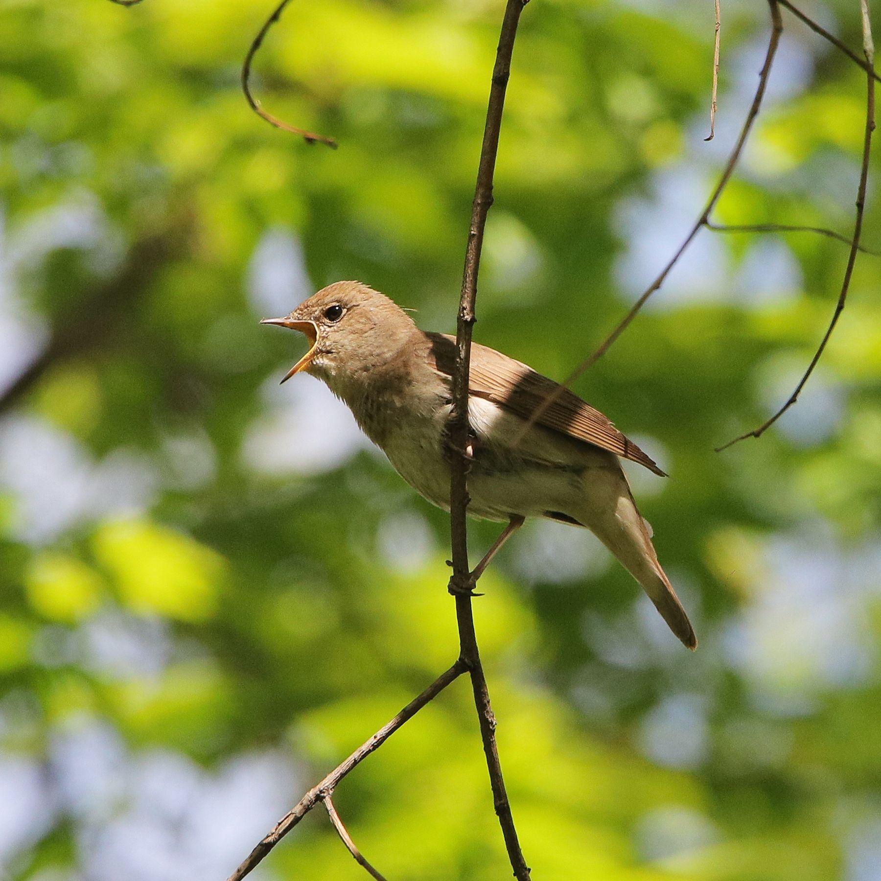 соловей-пташечка_2569 птицы певчие соловей
