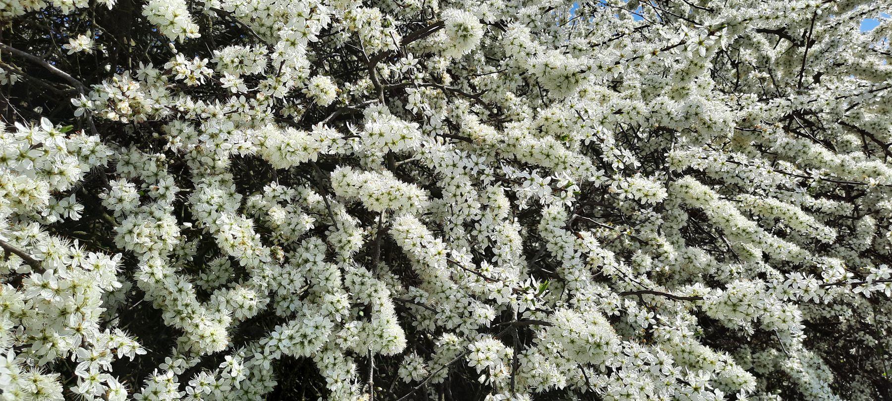 Цветы терна Терн