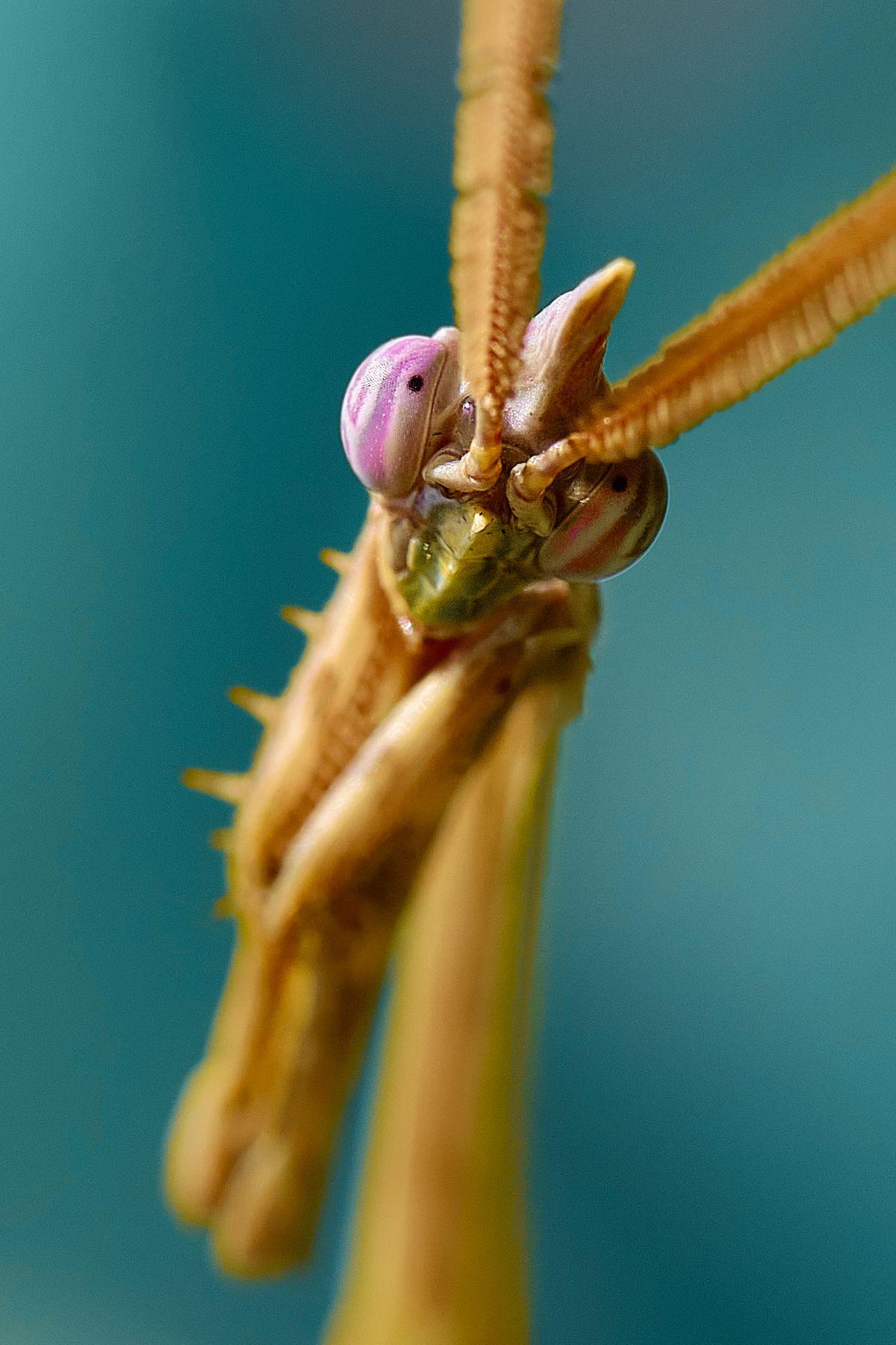 mantis mantis богомол макро
