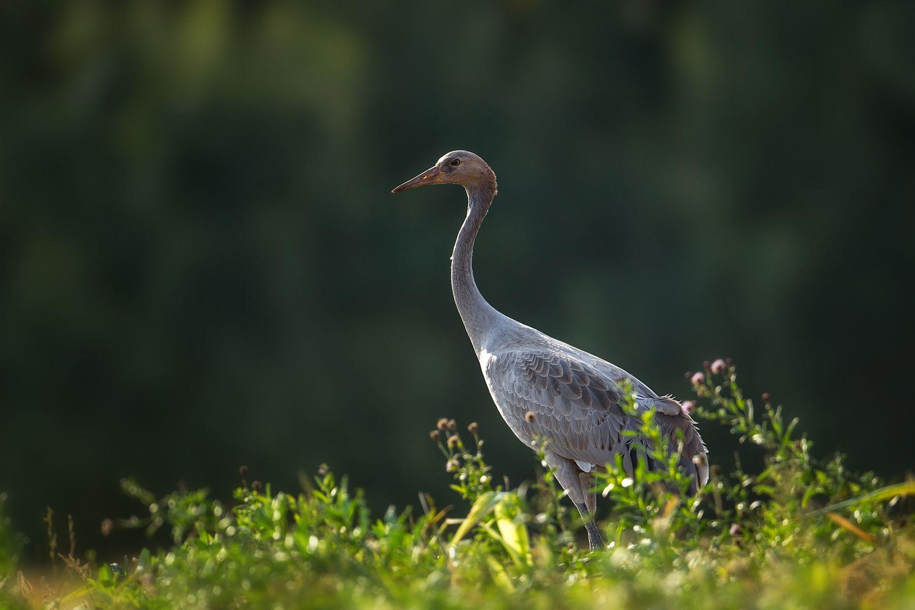 Молодежь Журавли молодежь птицы Birdwatching
