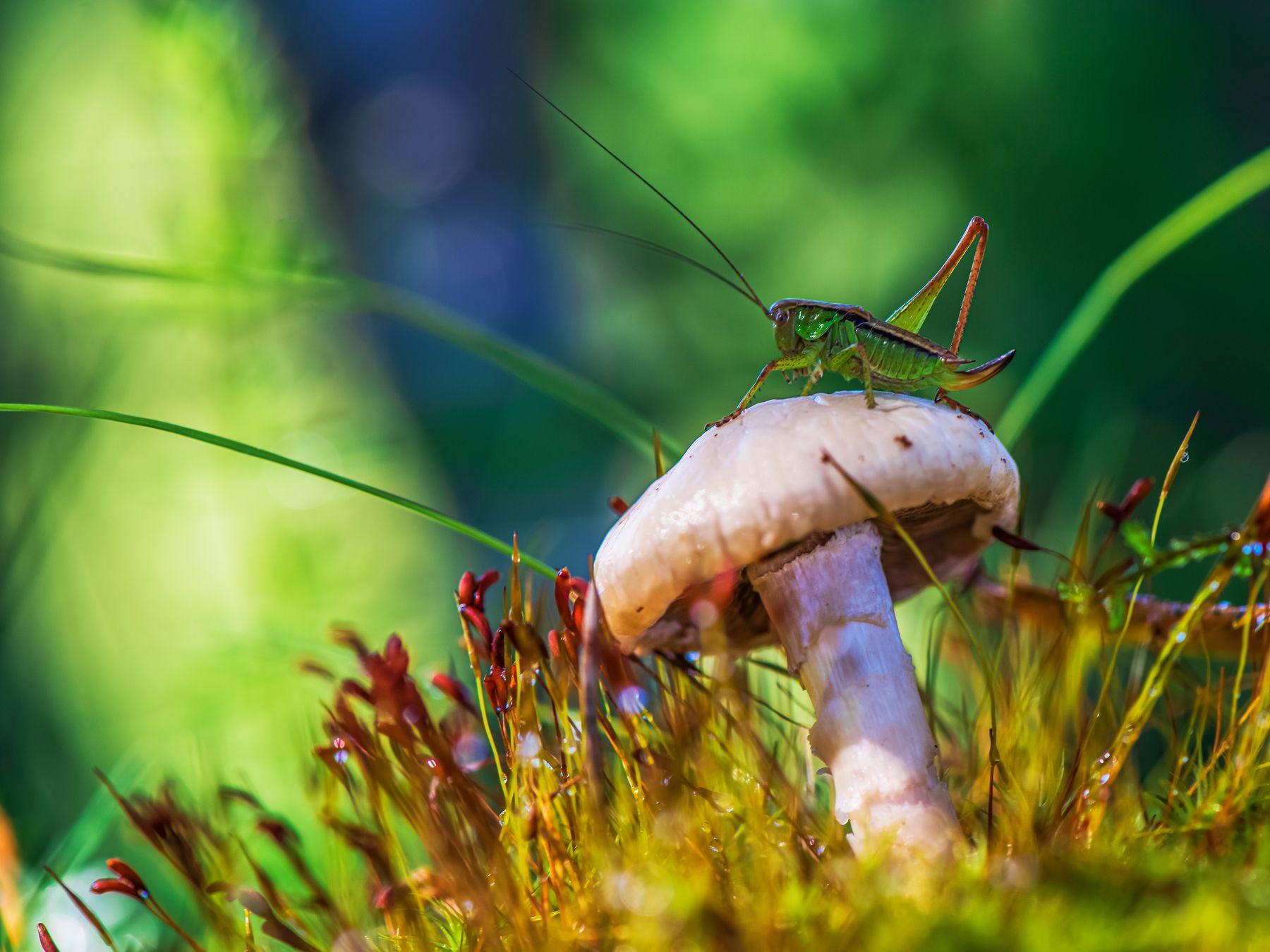 в траве сидел кузнечик кузнечик лето природа макро лес