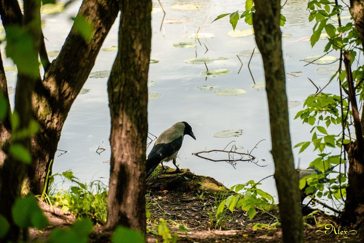 Грустная ворона ворона птица пруд природа лето