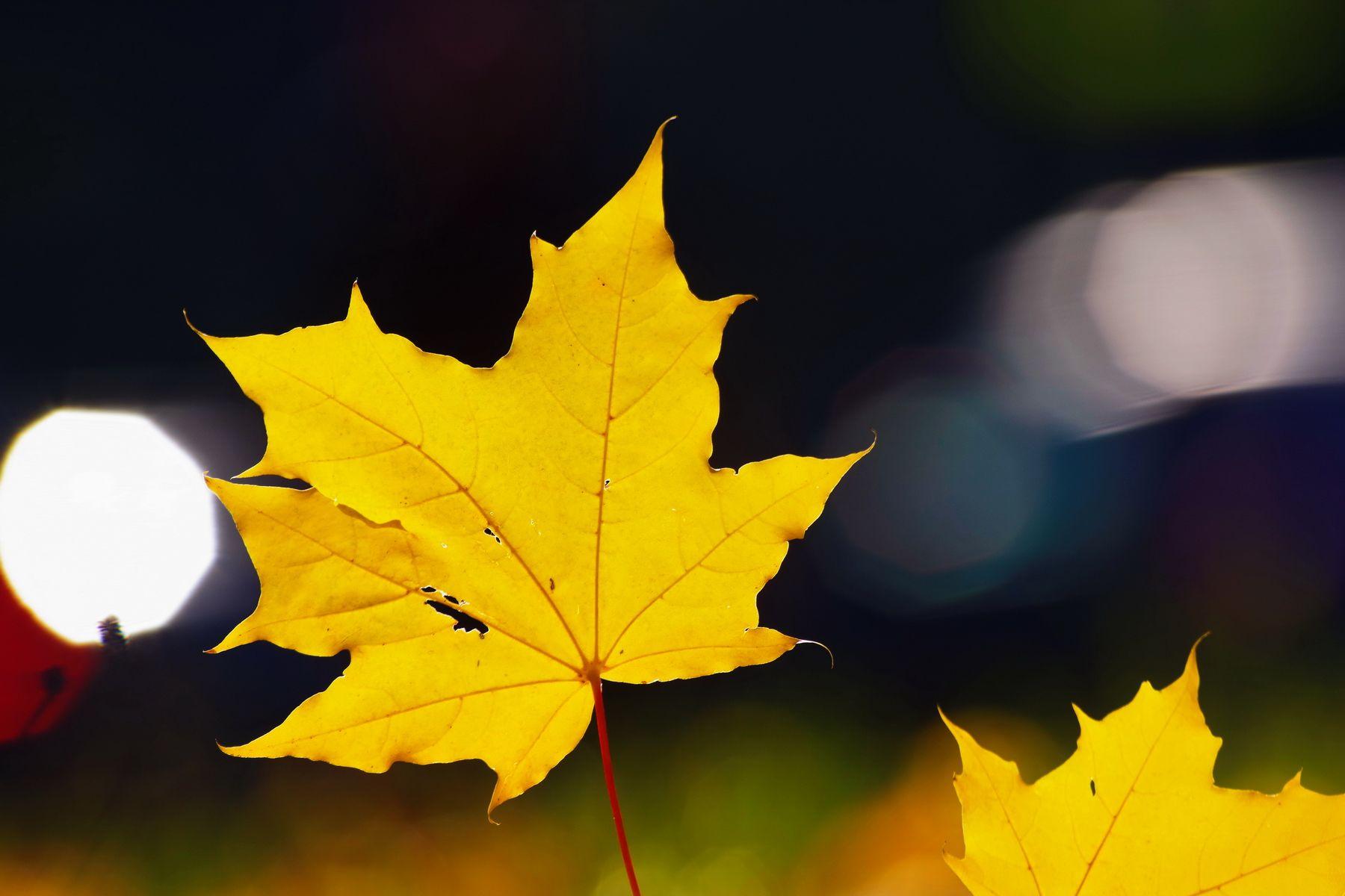 *** осень листья лист свет солнце блик
