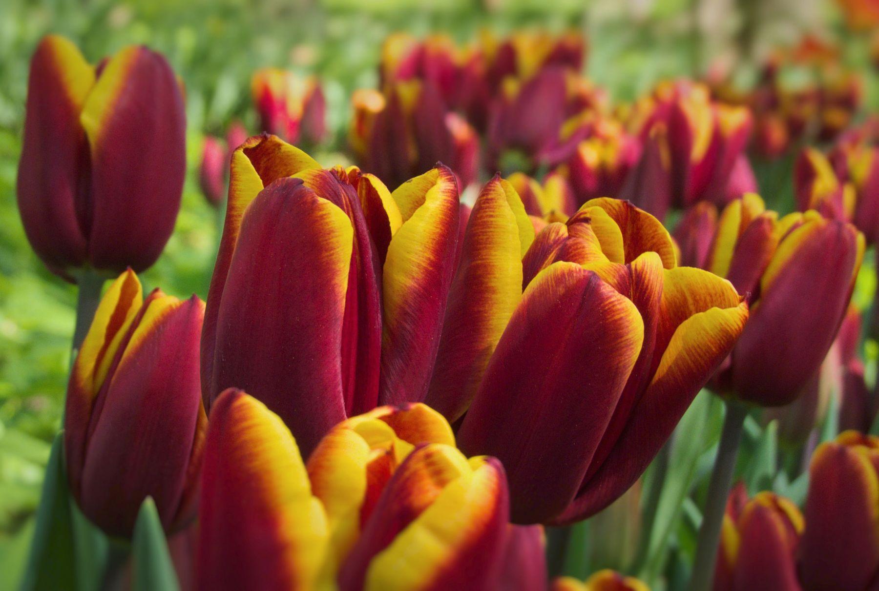 Тюльпаны прошлого года Тюльпаны весна
