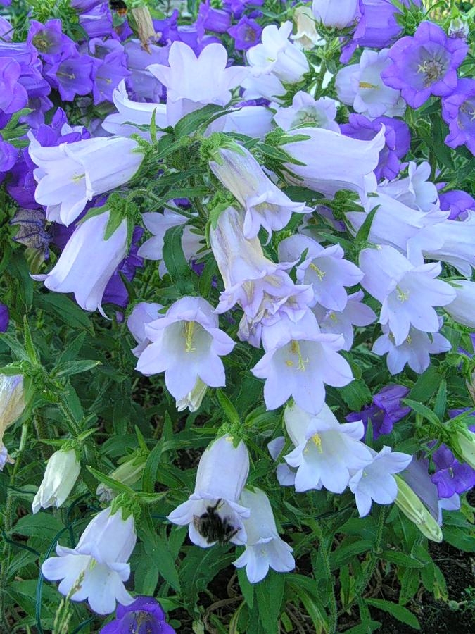Колокольчики цветы сад