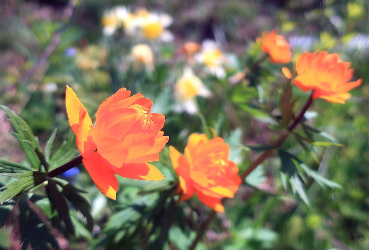 Лютики - цветочки лето цветы купальница