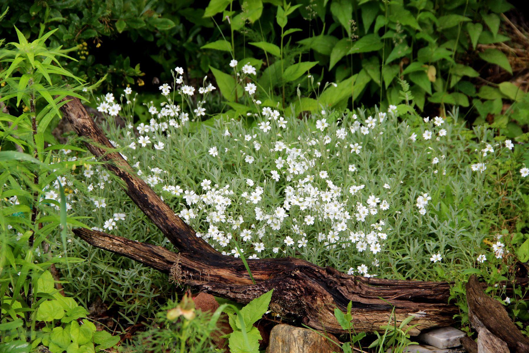 Ясколка Сибирь лето дача цветы