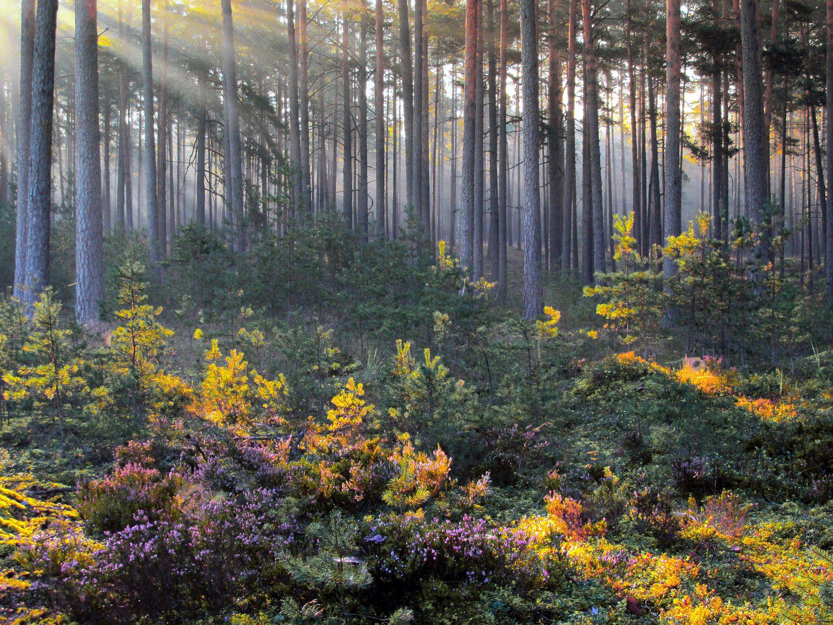 Сосновый бор/Сентябрь лес.утро.сентябрь.сосновый бор.10.09.2021