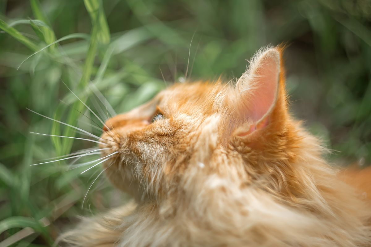 *** кошка рыжий кот животные кошки охота кошачий глаз маскировка взгляд