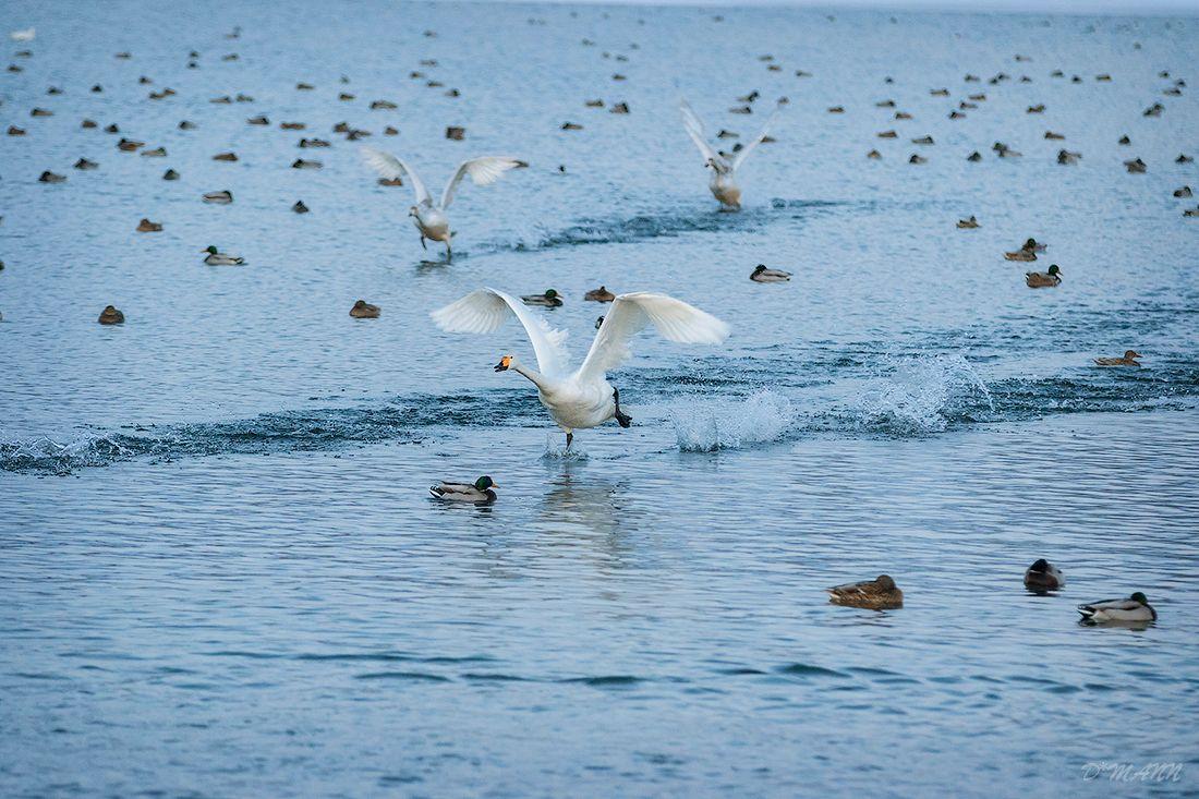 Бегущие по воде Алтай декабрь лебеди полёт озеро Светлое Лебединое вода птицы зима