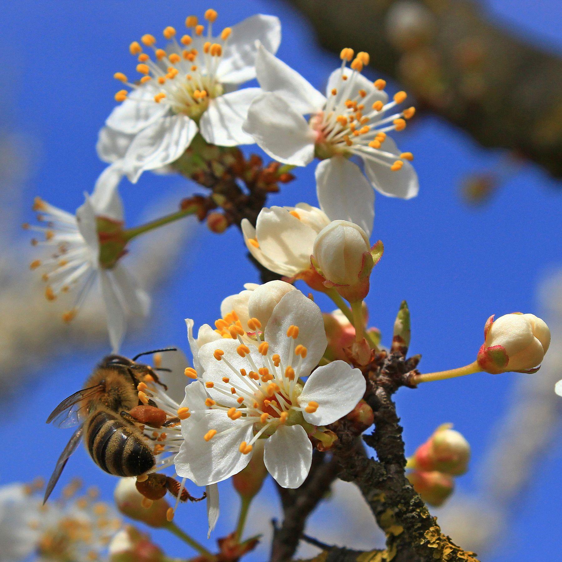 пчела 4086 макро
