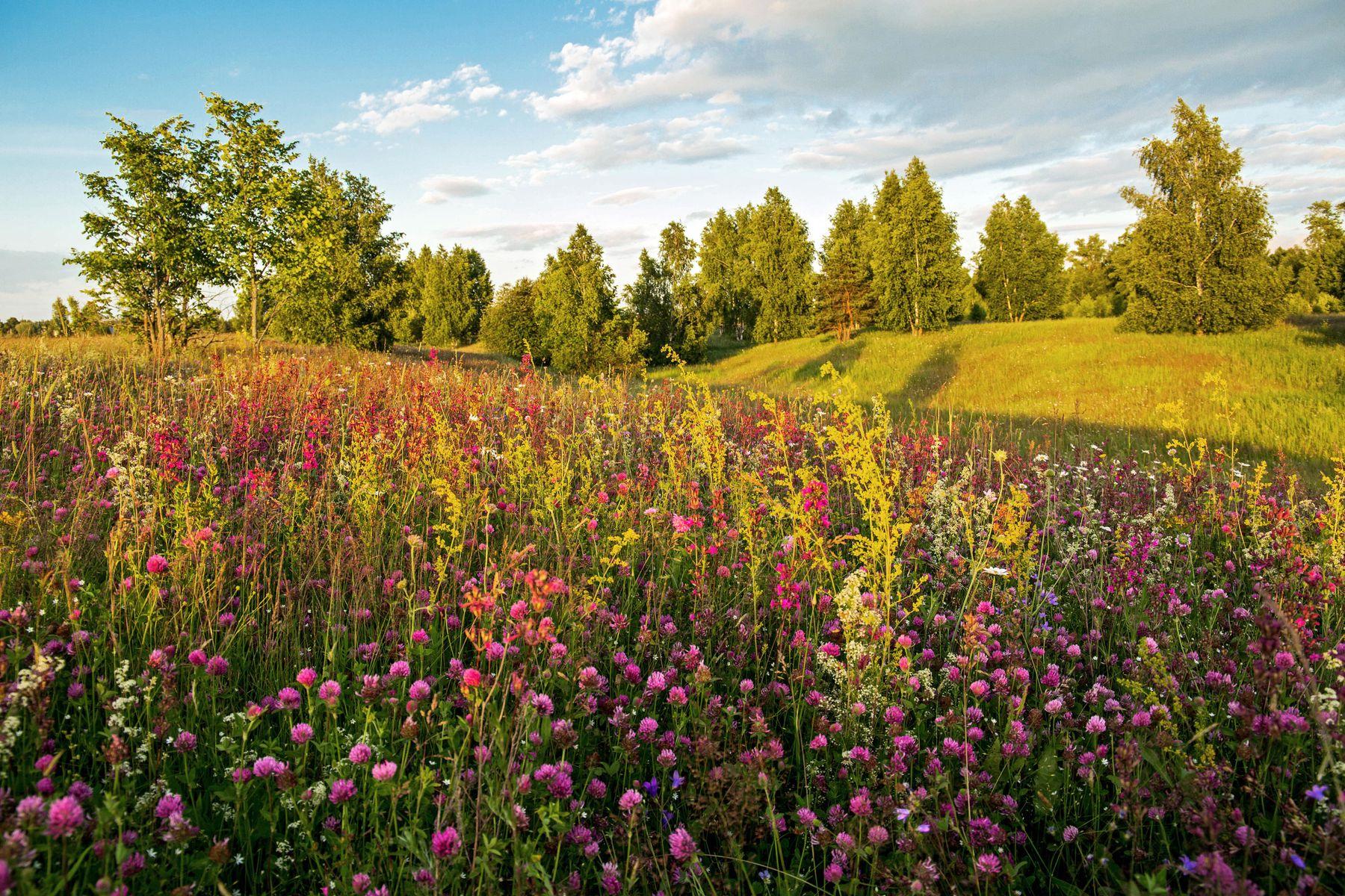 Клеверный пригорок природа пейзаж лето вечер луг татарстан дубровка клевер