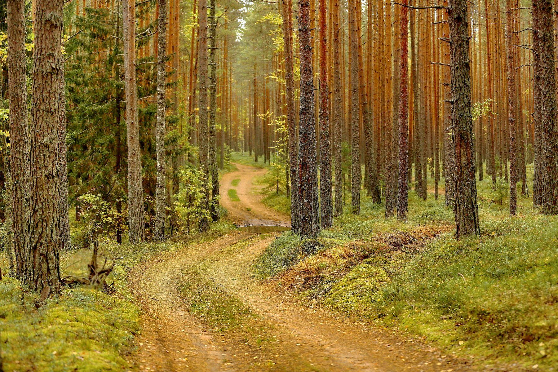*** ...в бору сосновом дождь прошел ... лес бор прогулки дождь красота