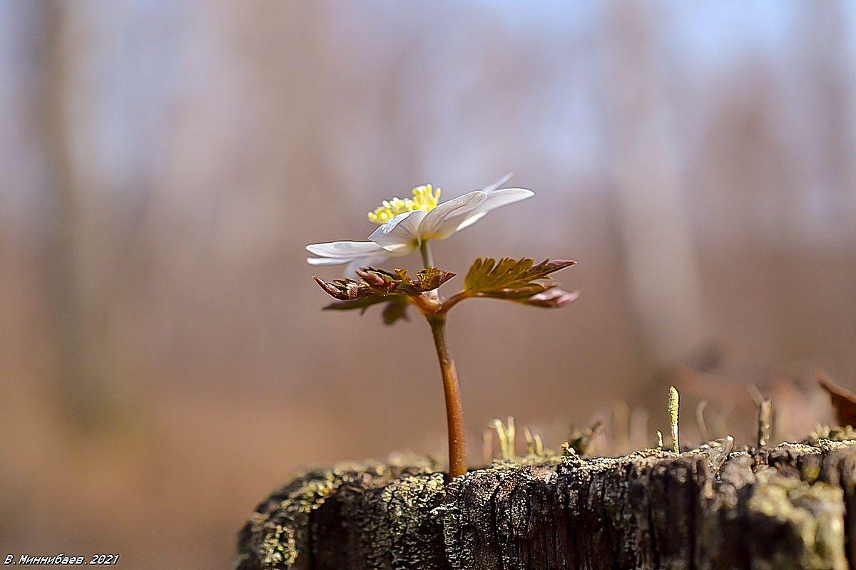 Ветреница пр ирода весна цветы анемона