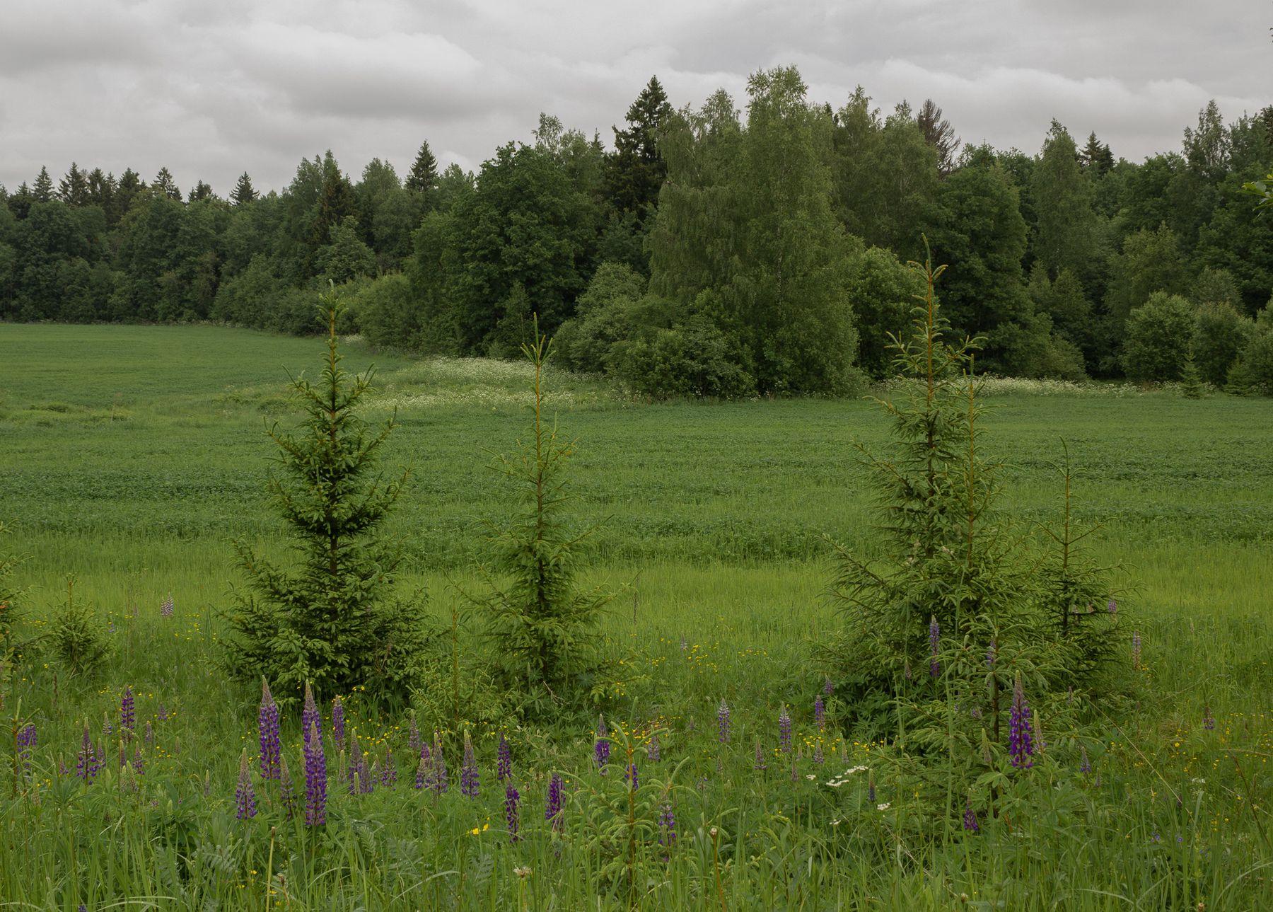 Елочки поле ели лето люпины