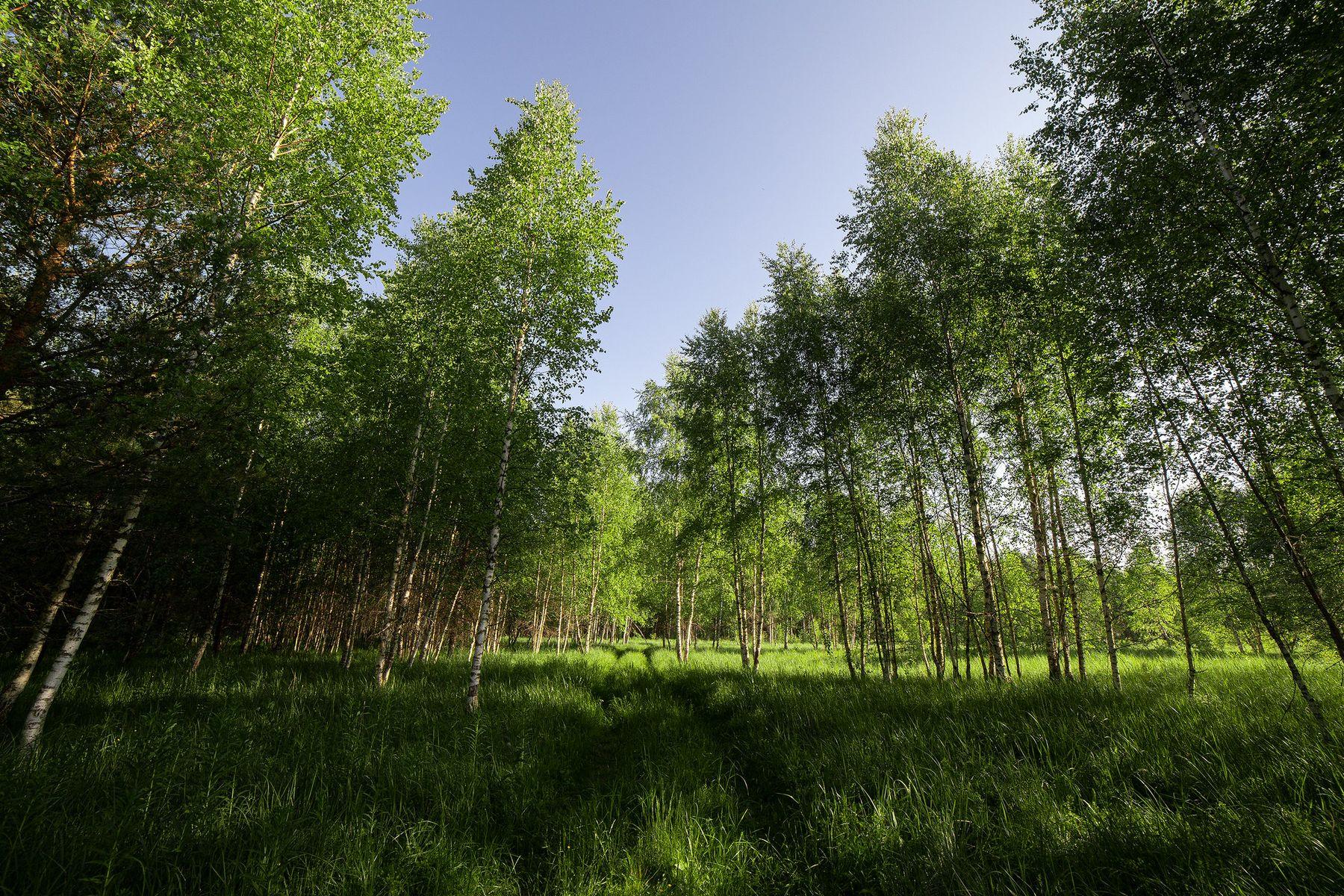 Свежесть июньского леса. Лес пейзаж