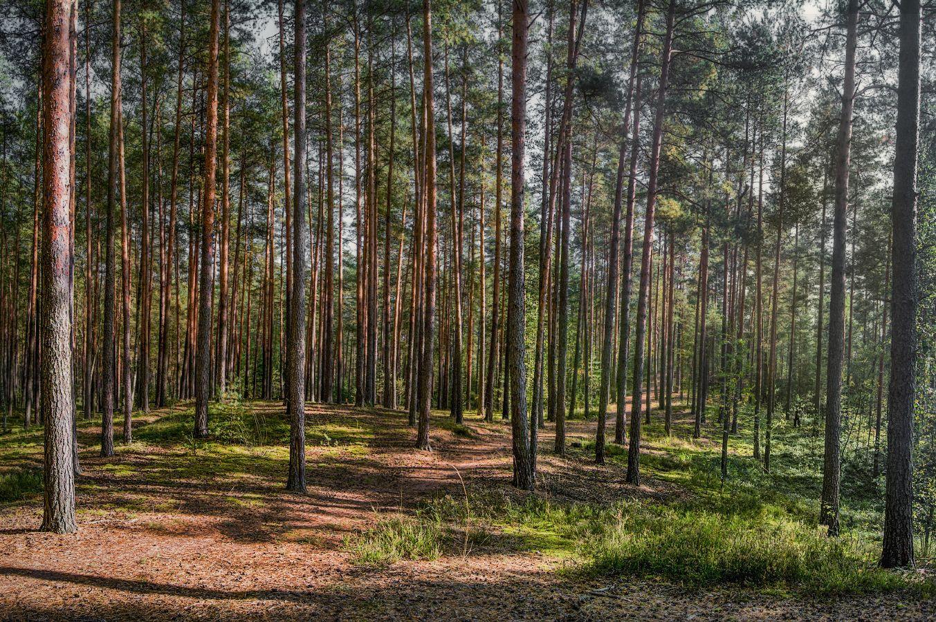 ***В осеннем сосновом лесу.