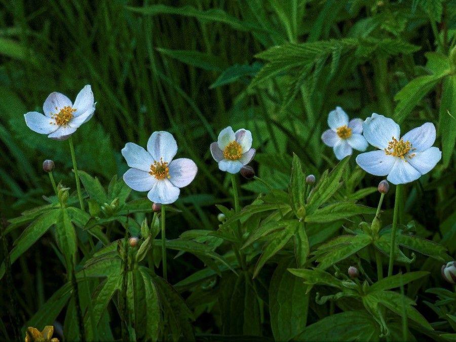 Анемона Лесная Anemone Sylvestris Цветы природа