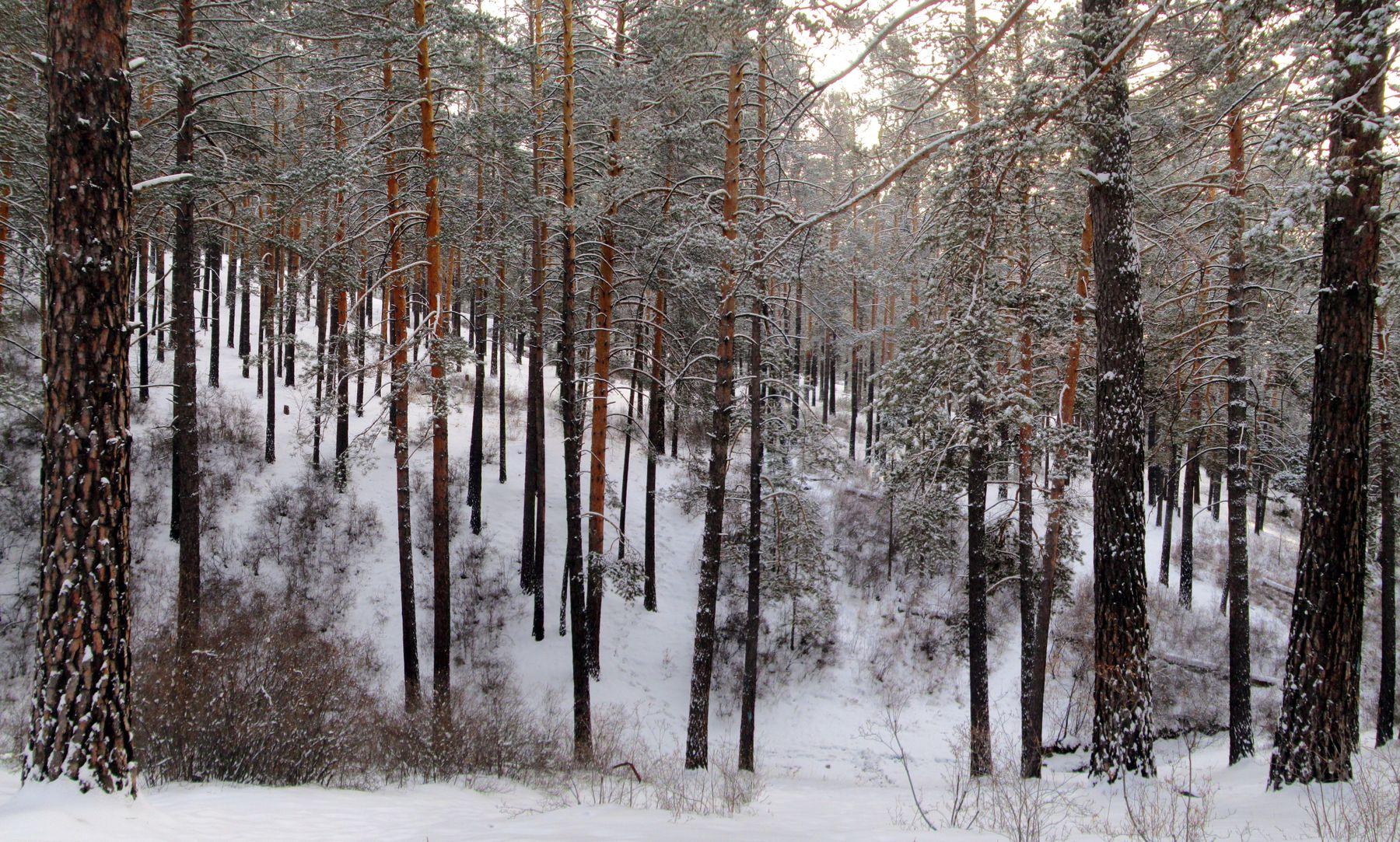 Морозный денек лес зима снег сосны багульник Забайкалье