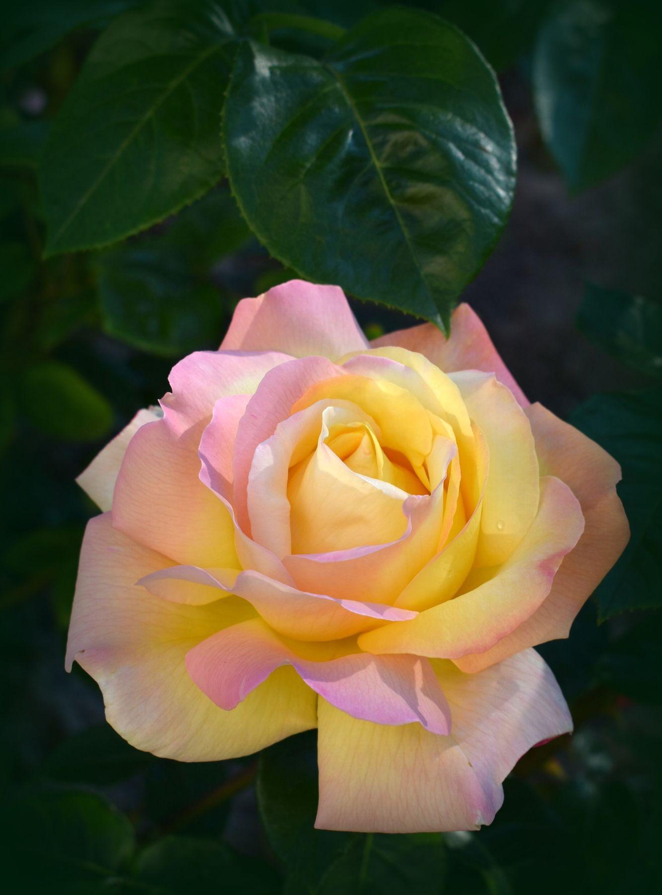 Июльская роза лето июль роза