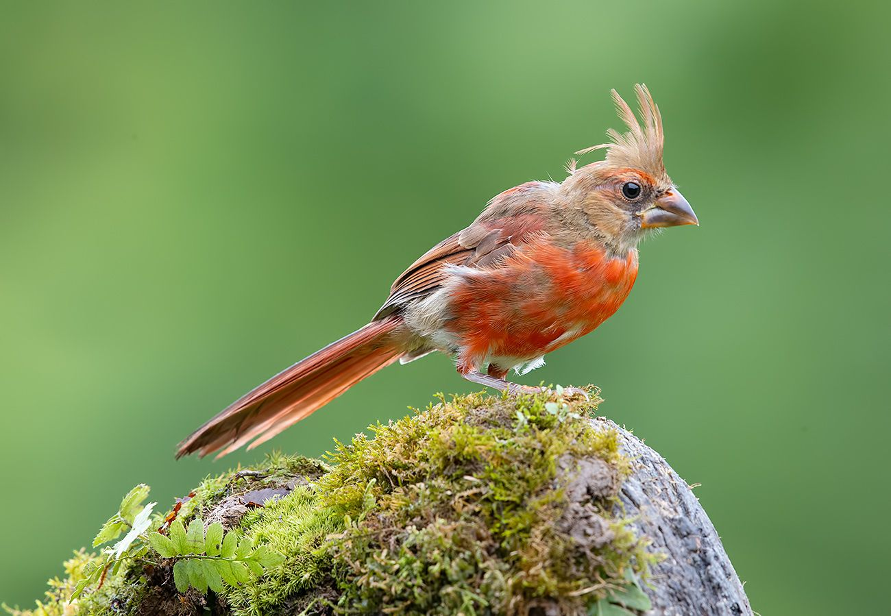 Juvenile Northern Cardinal - Молодая птица -Красный кардинал
