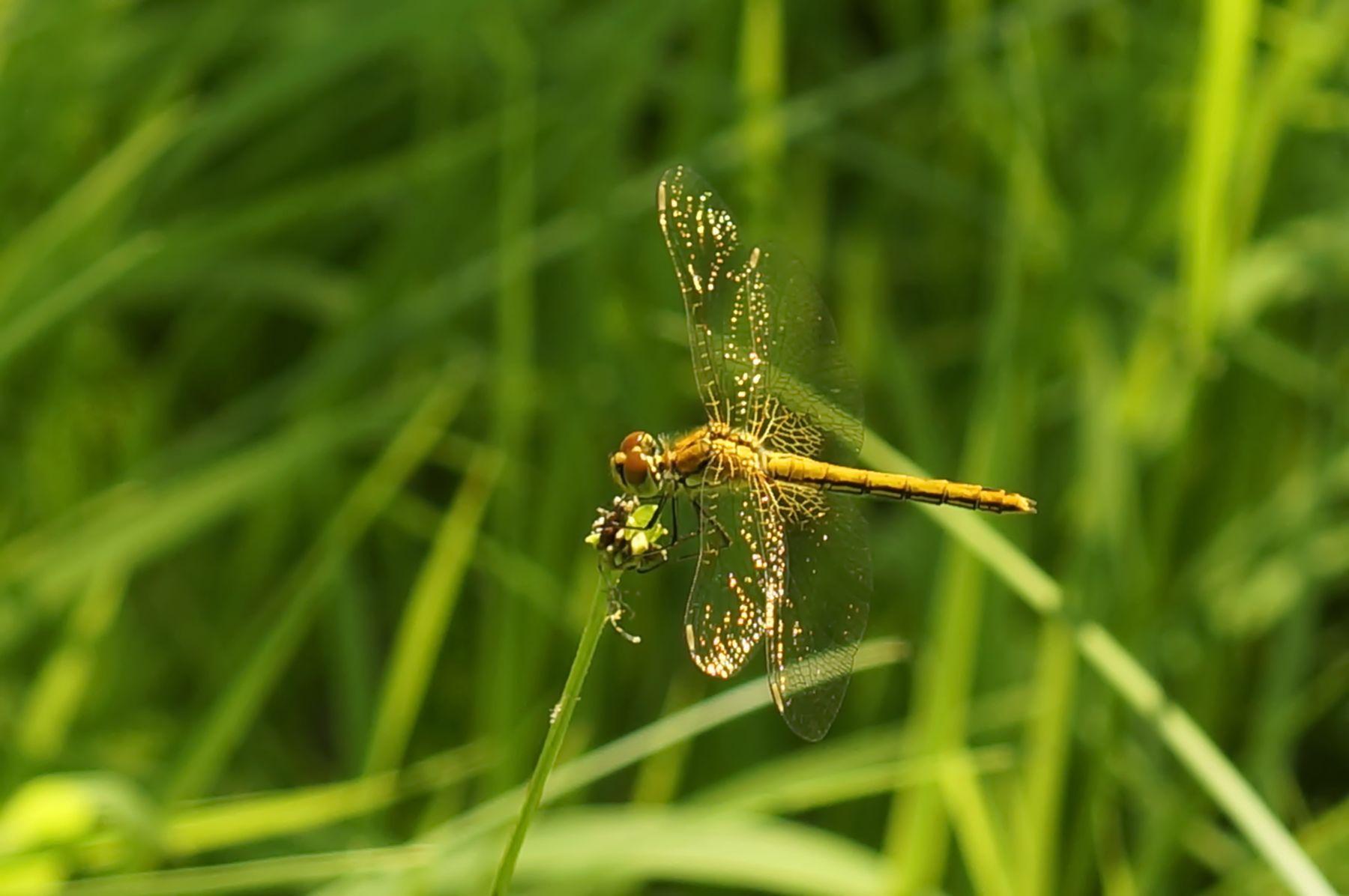 Стрекоза стрекоза лес лето трава