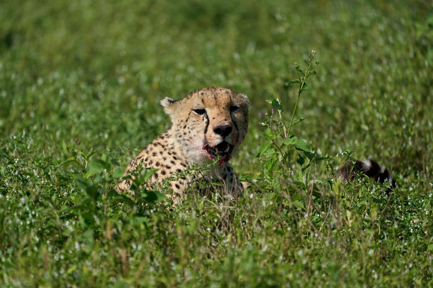 Гепард Танзания Нгоронгоро Африка природа животные кошки гепарды