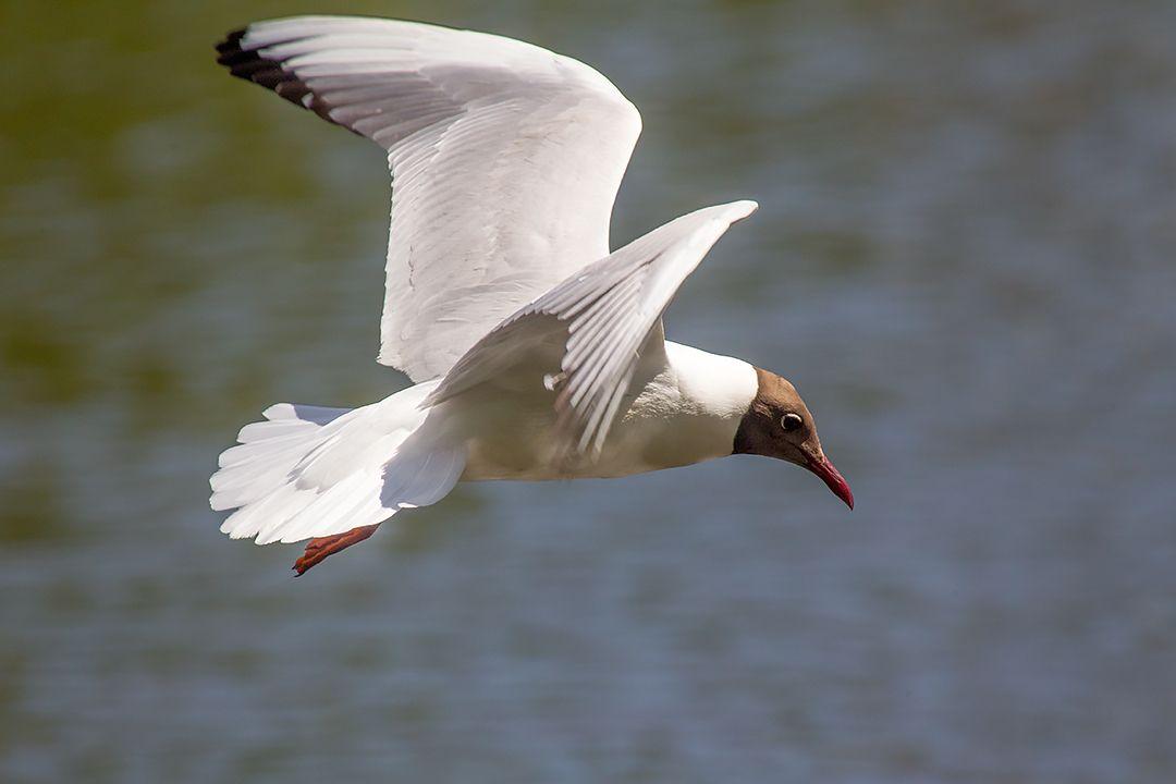 В полете птица озерная чайка