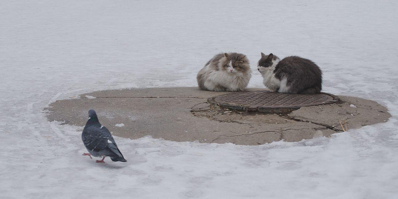 Фаталист кошки голубь фаталист