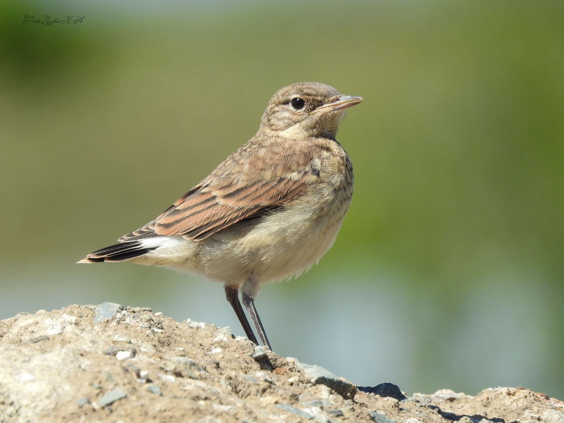 Малыш каменки Фотоохота птицы каменка