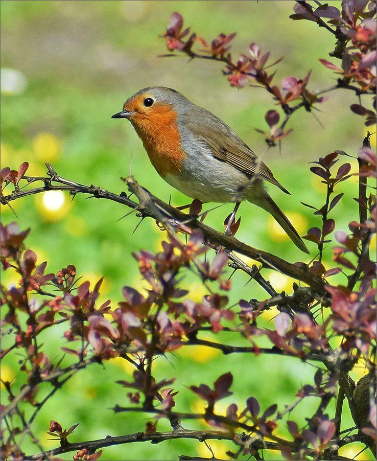 малиновка самец птица Польша парк малиновка весна Бытом