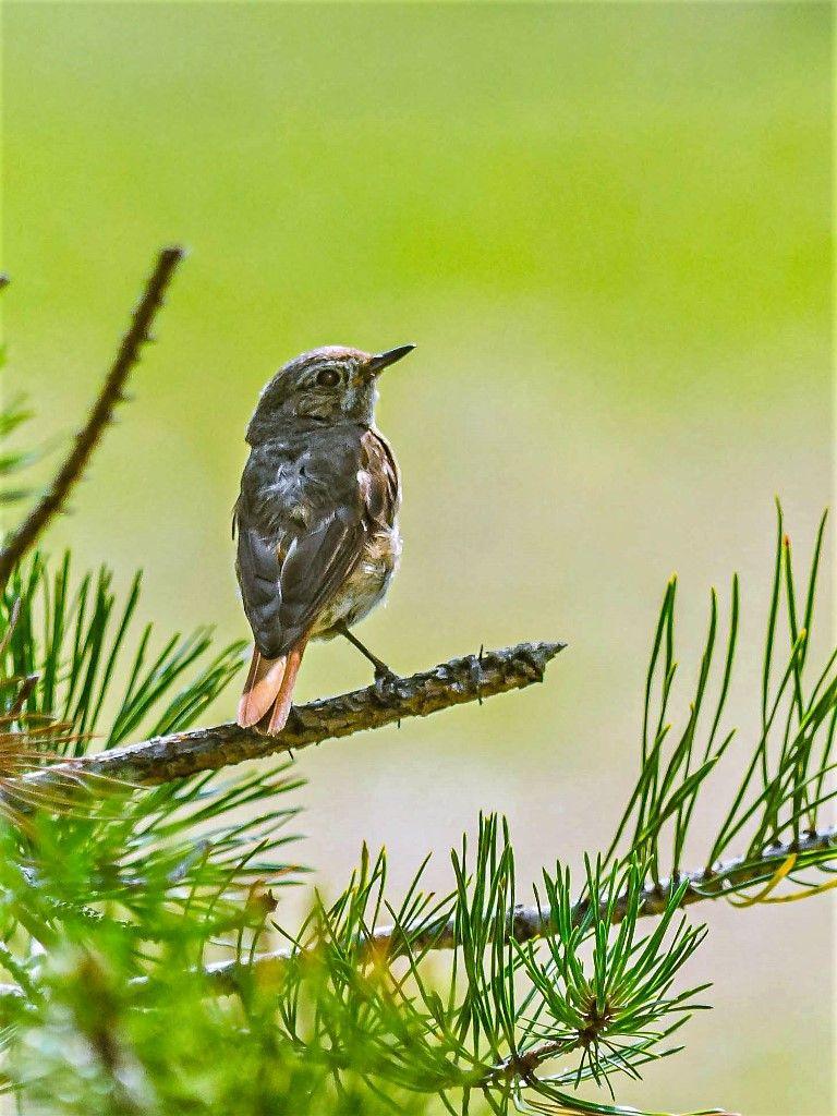 Птенец горихвостки Птицы лес природа