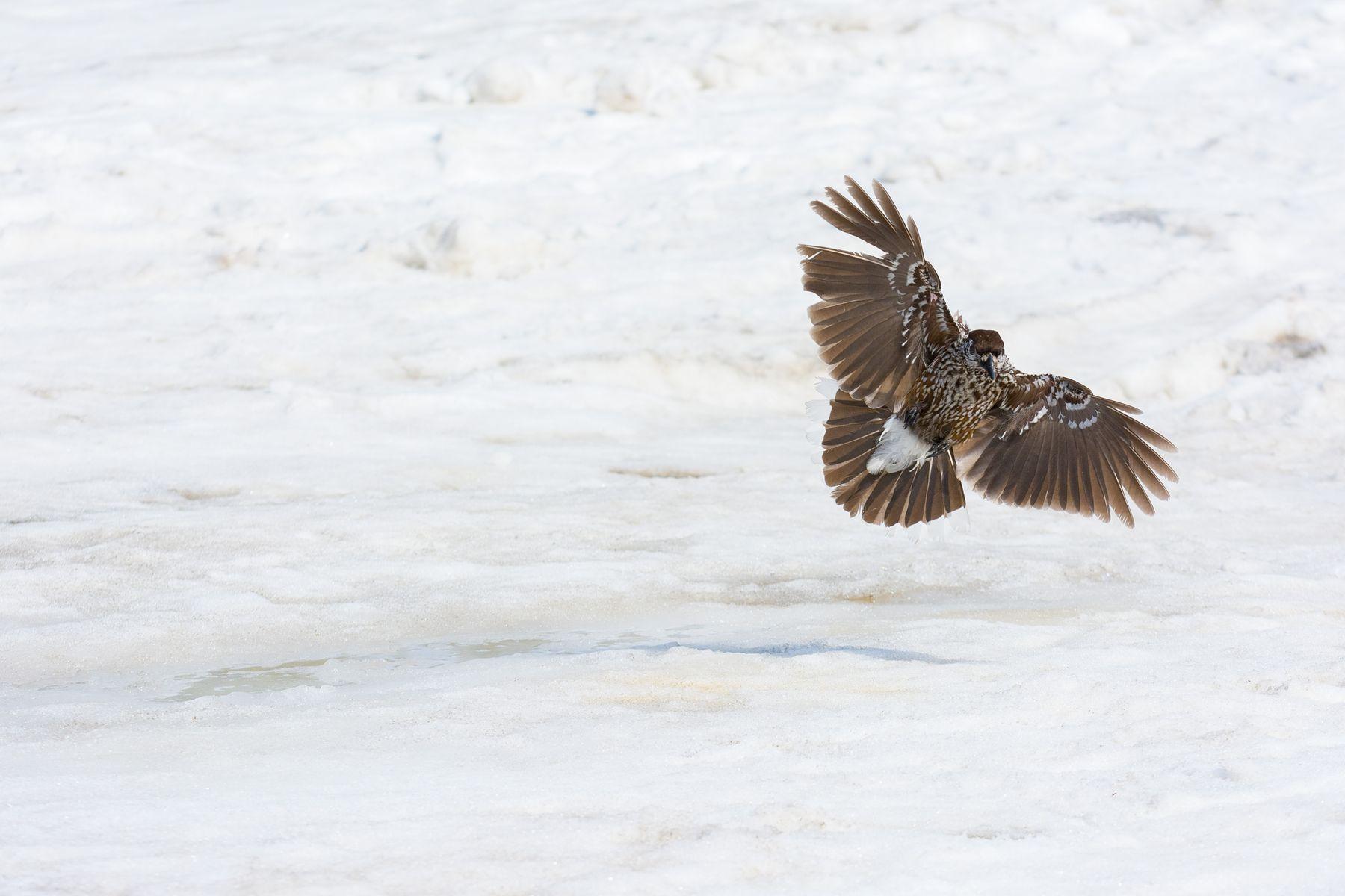 Объятья кедровки Кедровка птицы полёт фотоохота Шерегеш Шория Сибирь