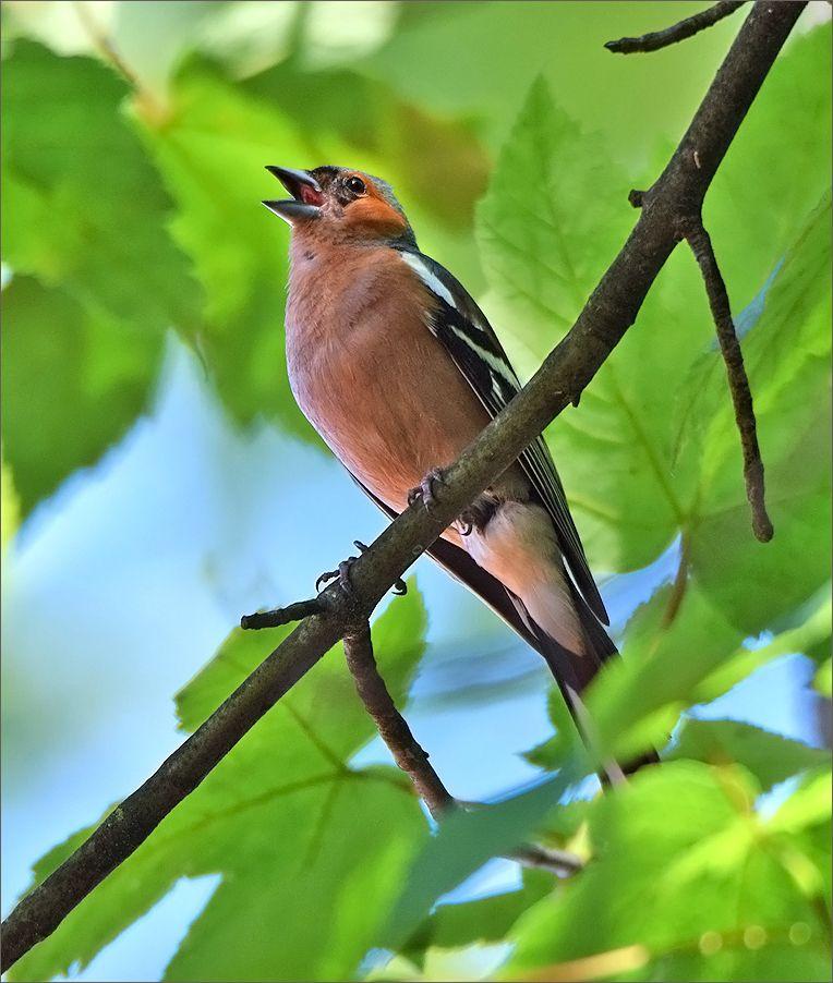 *** зяблик лето птица лес