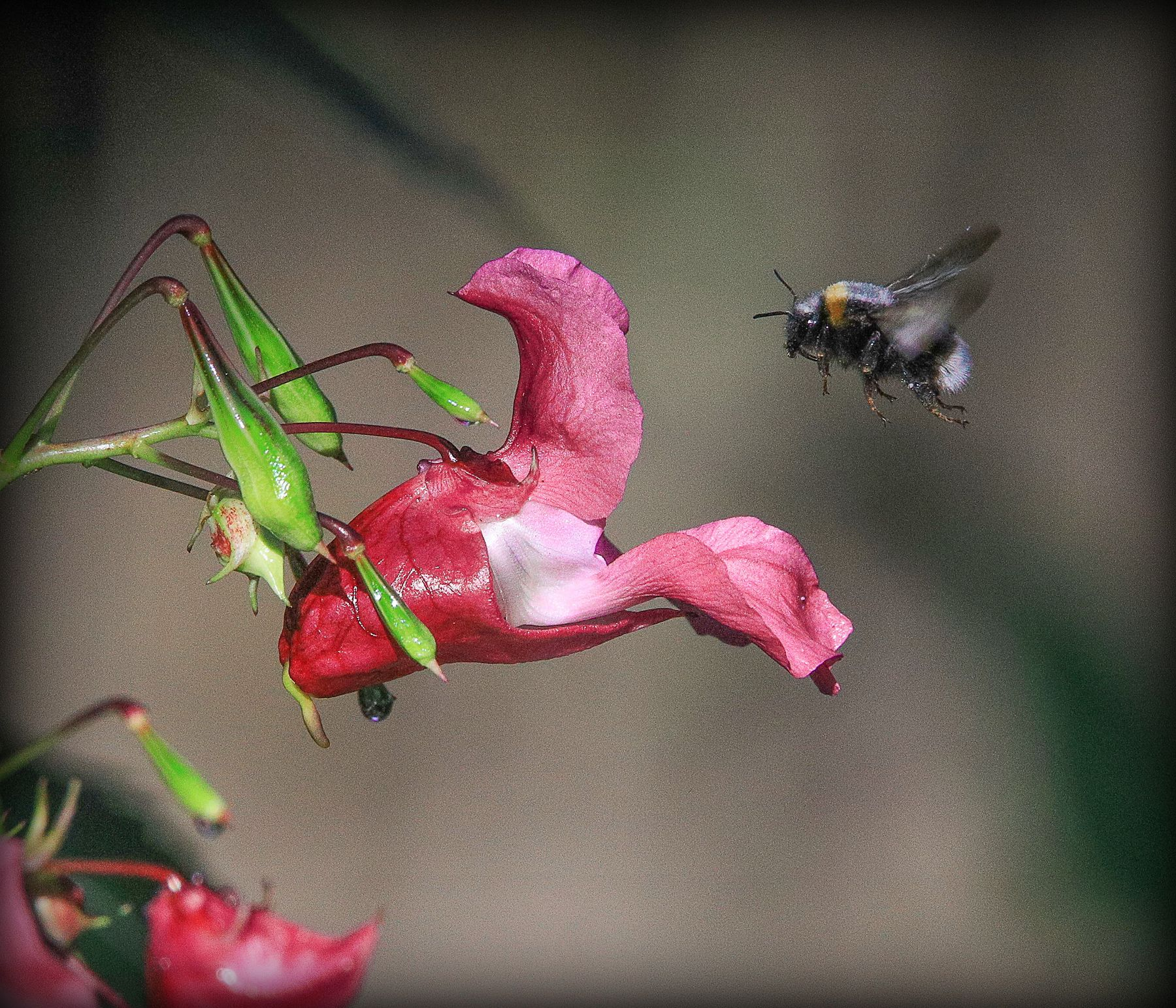 на подлете шмель цветы нектар лето