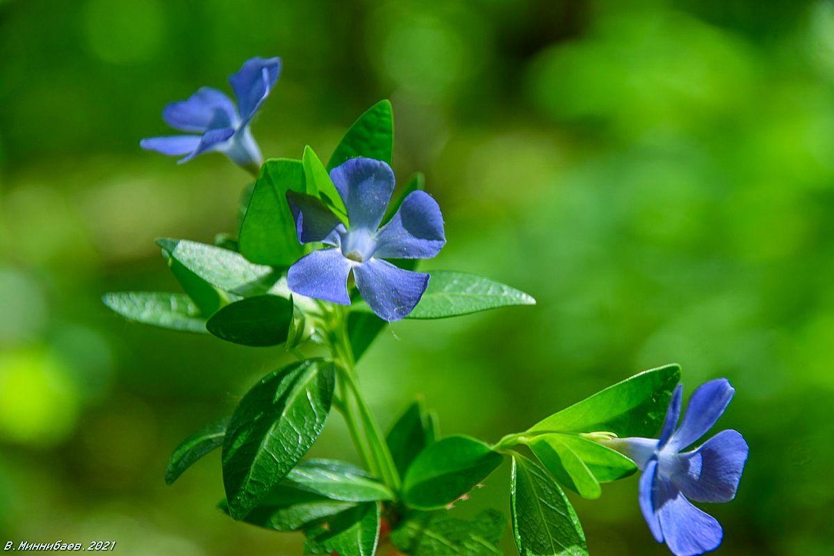 Кажется,лён... природа весна.растения.цветы