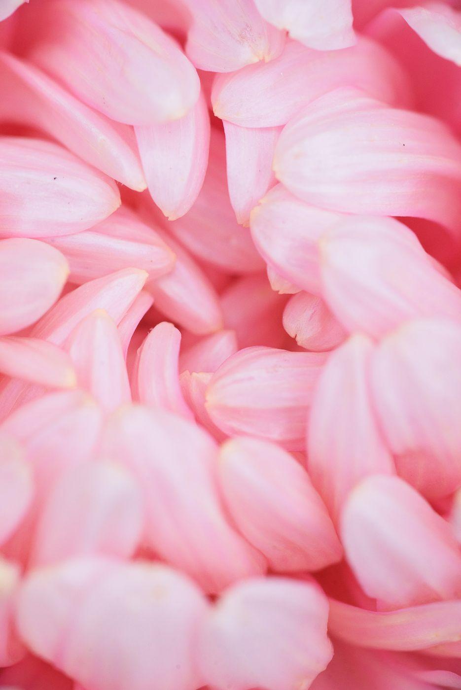 *** макро цветок природа пионовидная астра пион пионовидный лепесток бутон