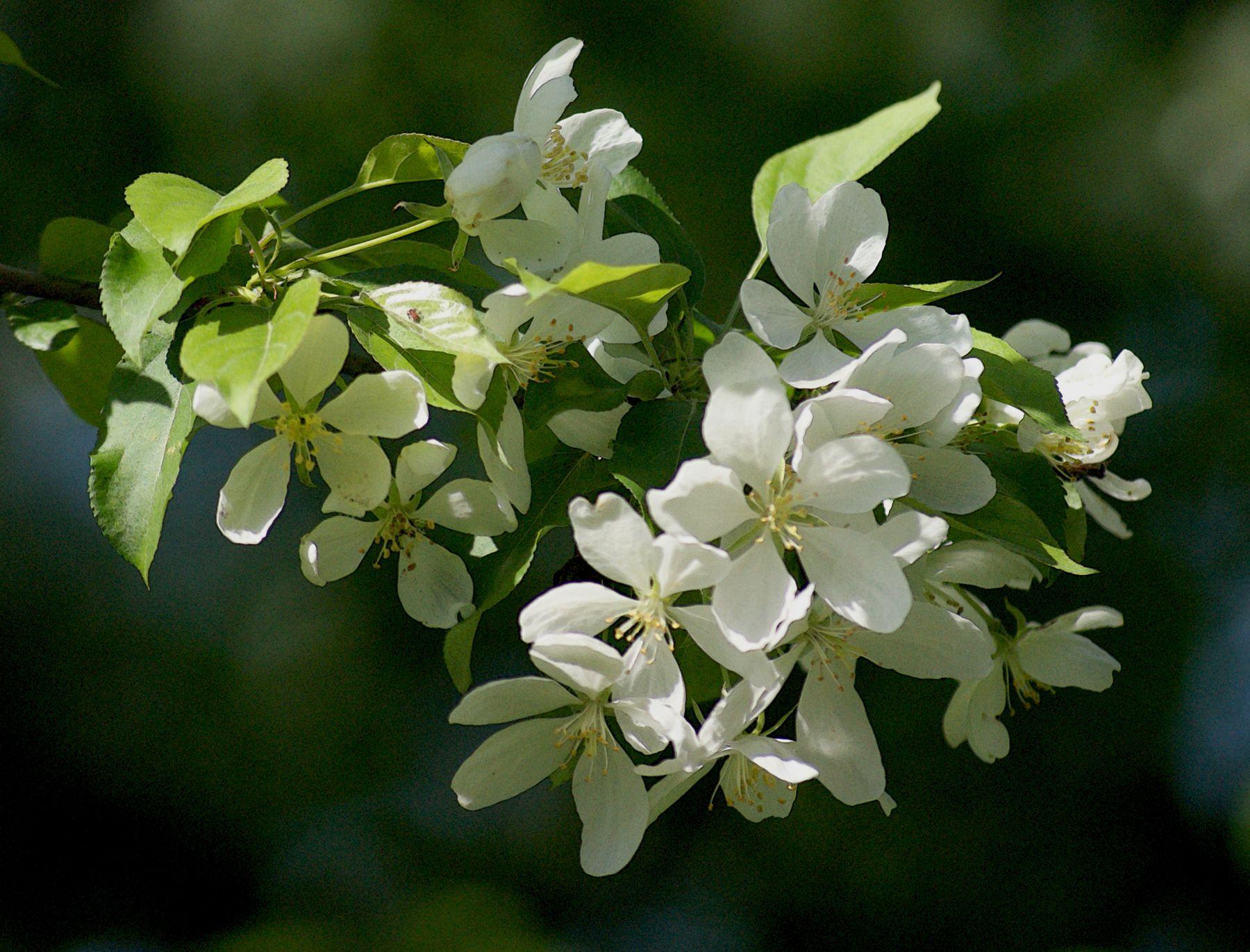 Белый цвет у яблонь яблоня в цвету