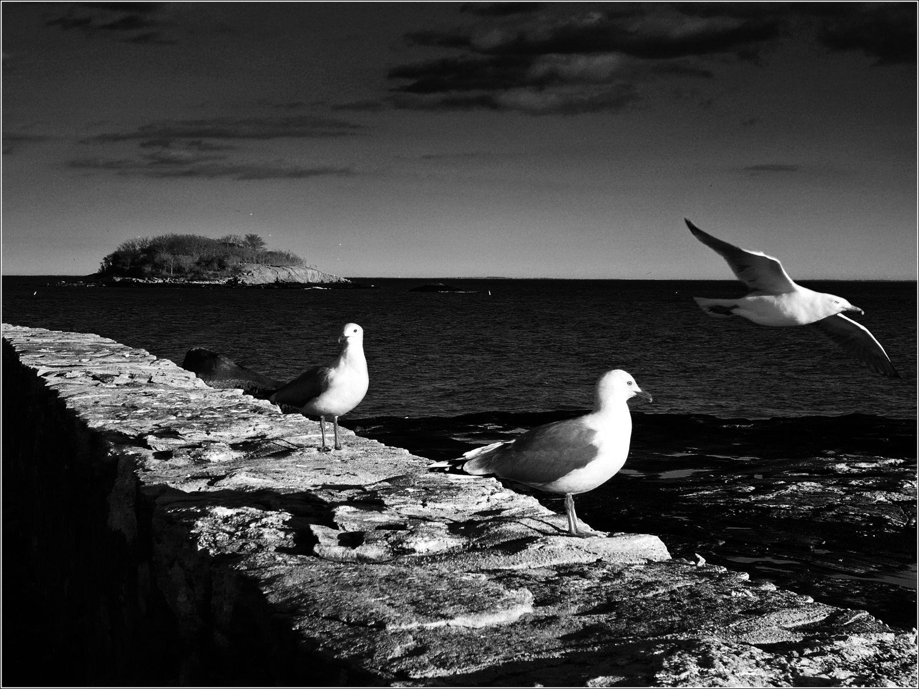 *Чайки Атлантического океана* фотография путешествия Атлантика США берег море чайки весна Коннектикут птицы Фото.Сайт Светлана Мамакина Lihgra Adventure