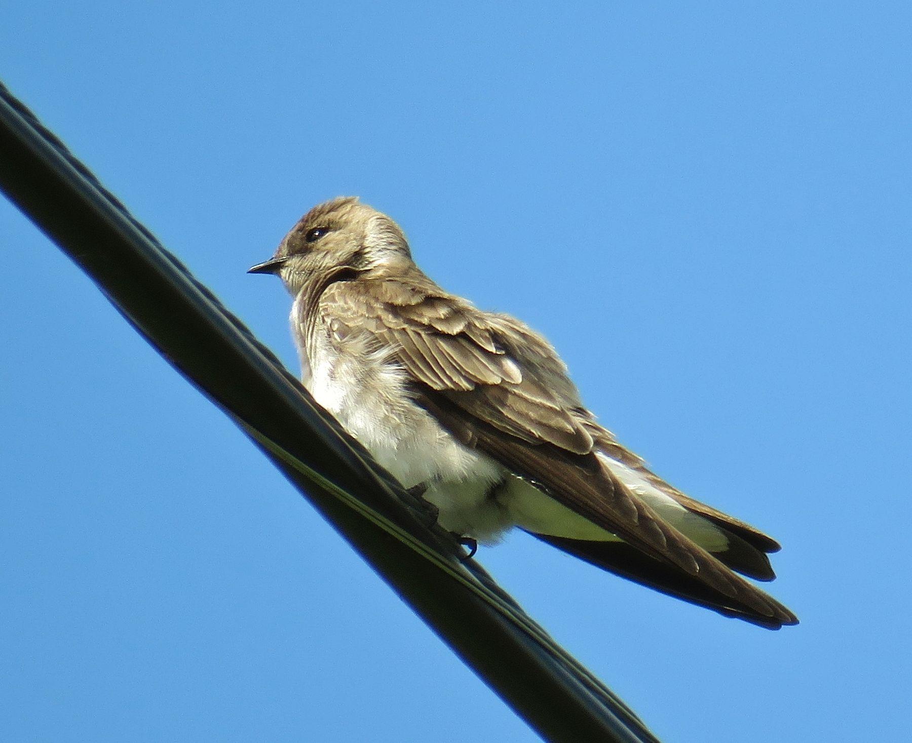 Западный пиви западный пиви птица contopus sordidulus western wood pewee tyrant flycatcher bird