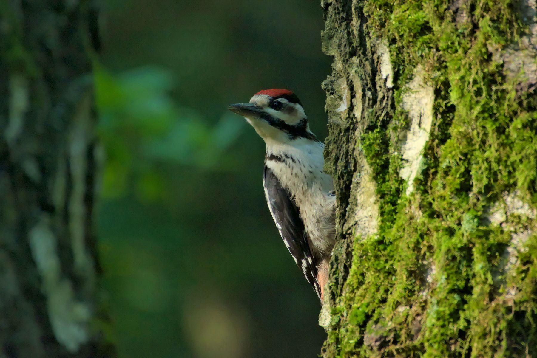 Большой пёстрый 1... птицы дятел лето лес природа красавчик