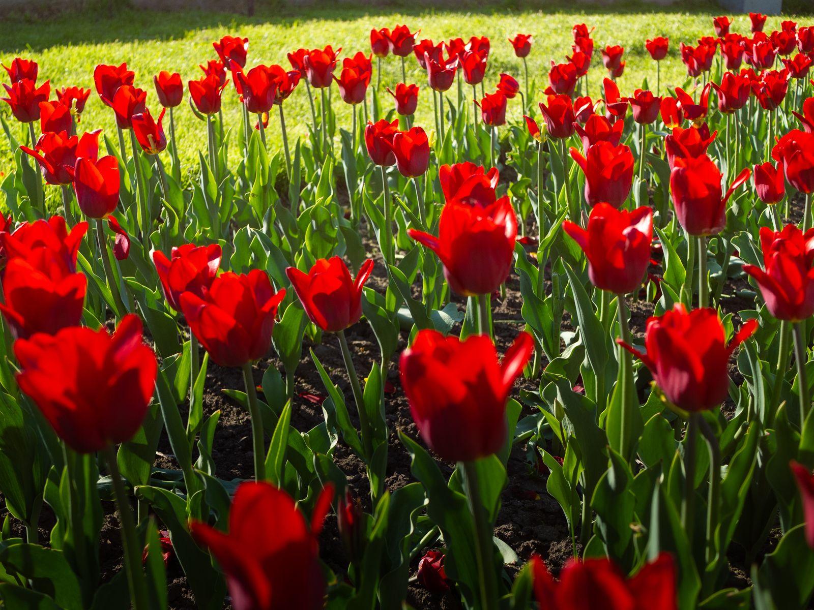 *** цветы тюльпаны