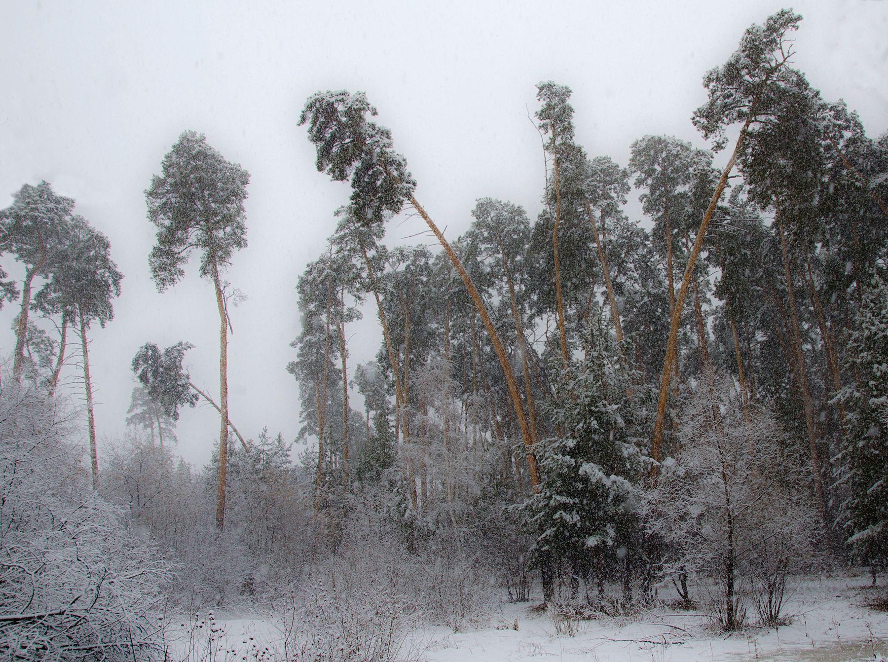 ***** Сосны снег