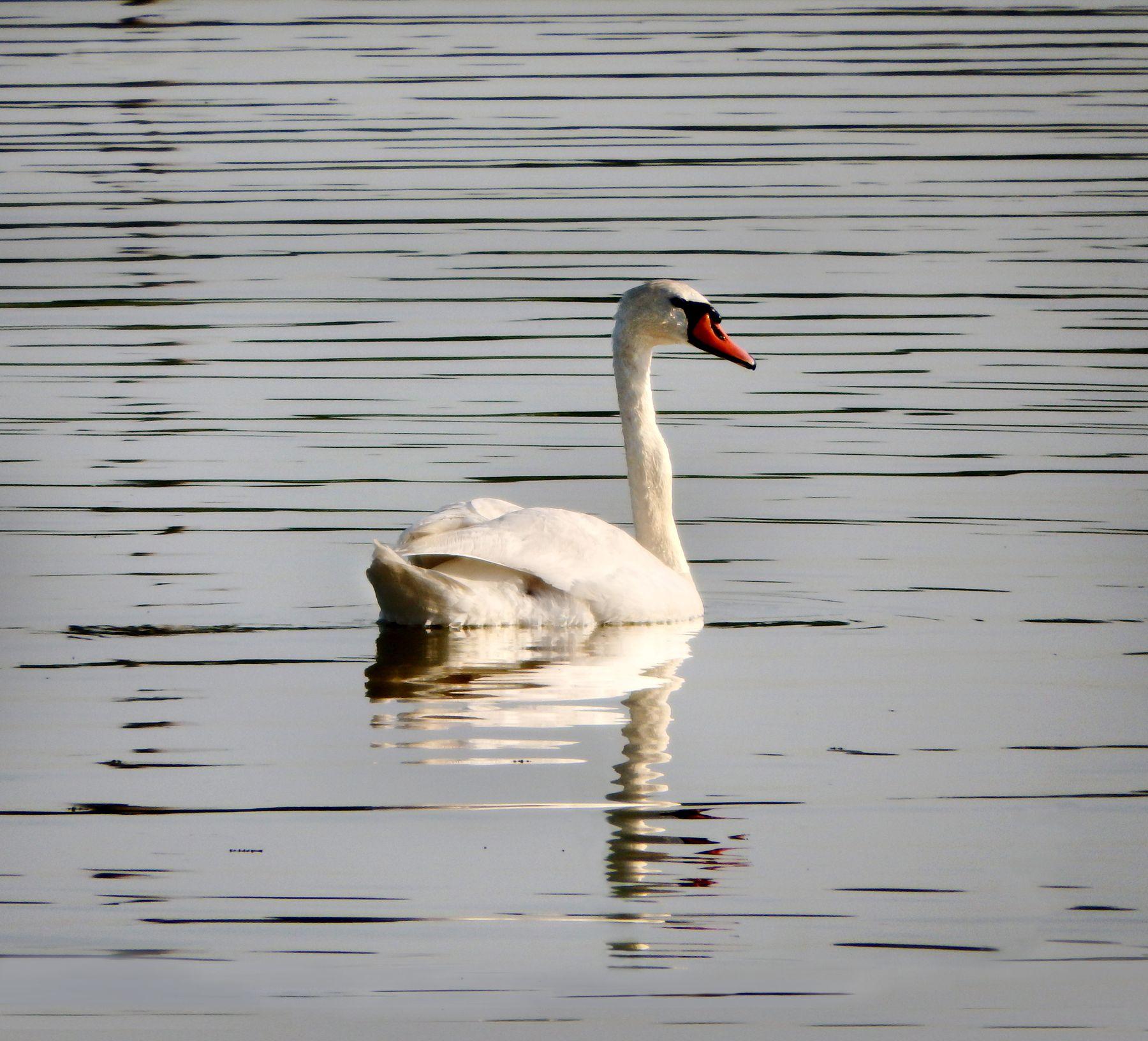 *** лебедь вода птица