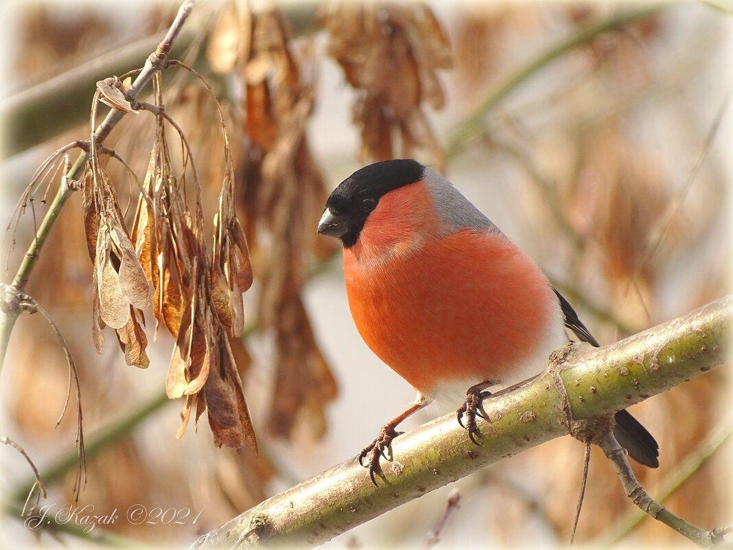 Снегирь. животные природа птицы фауна