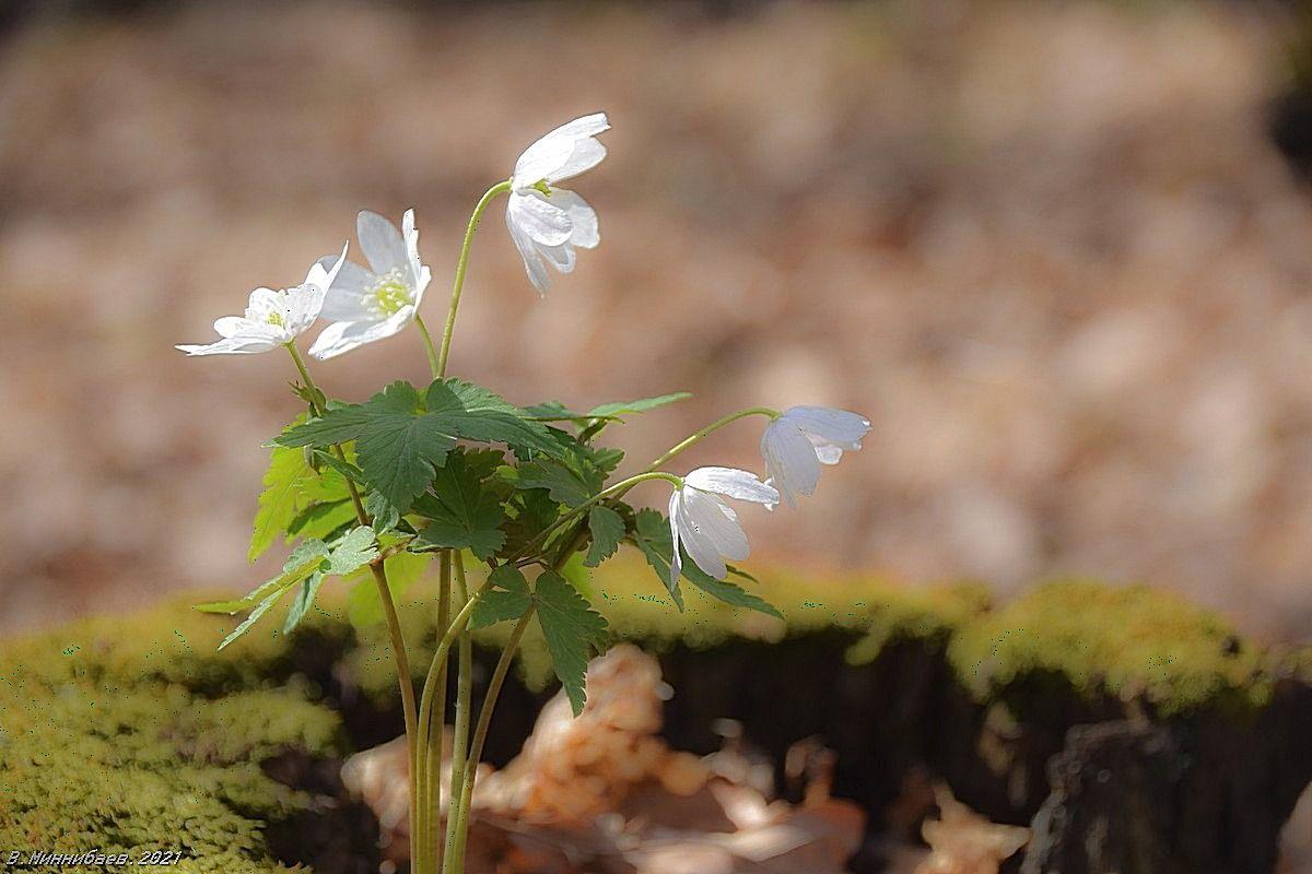Ветреницы природа весна апрель цветы ветреницы