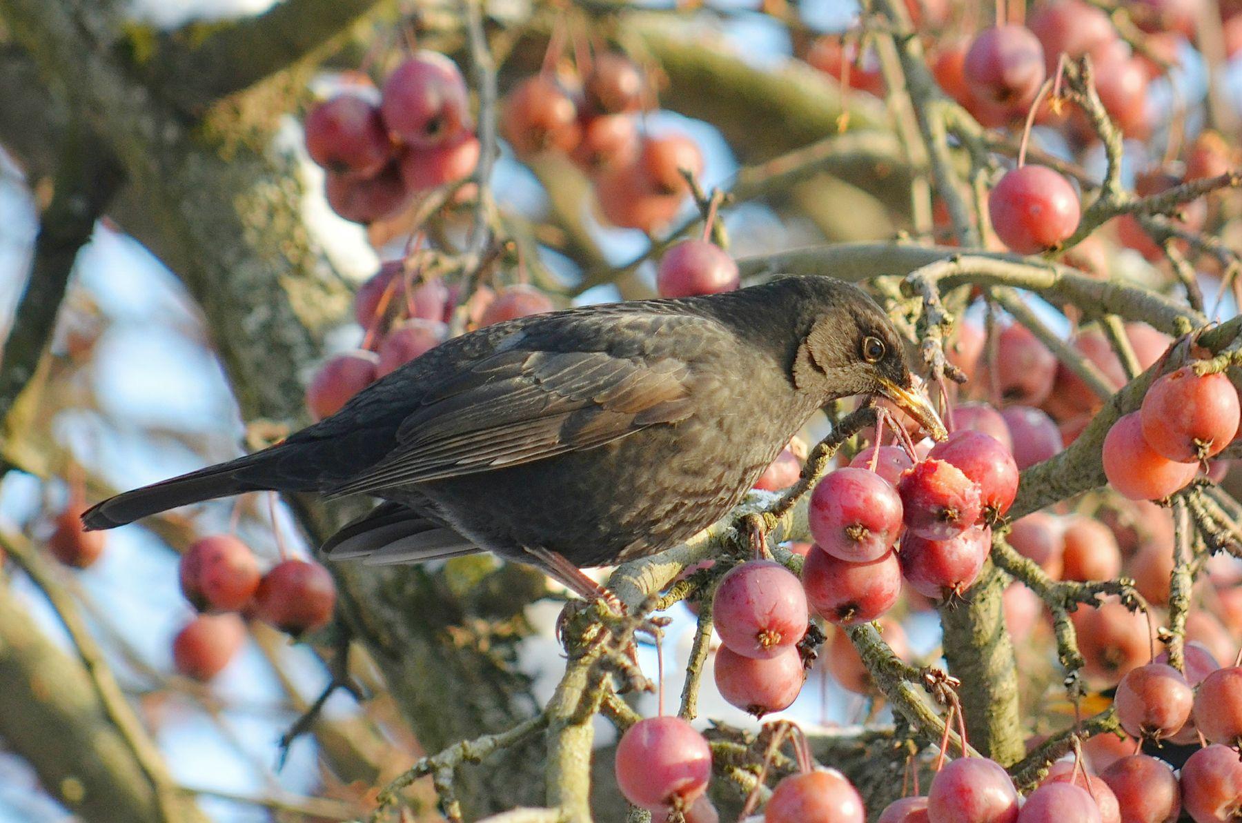 Съешь яблочко птица чёрный дрозд