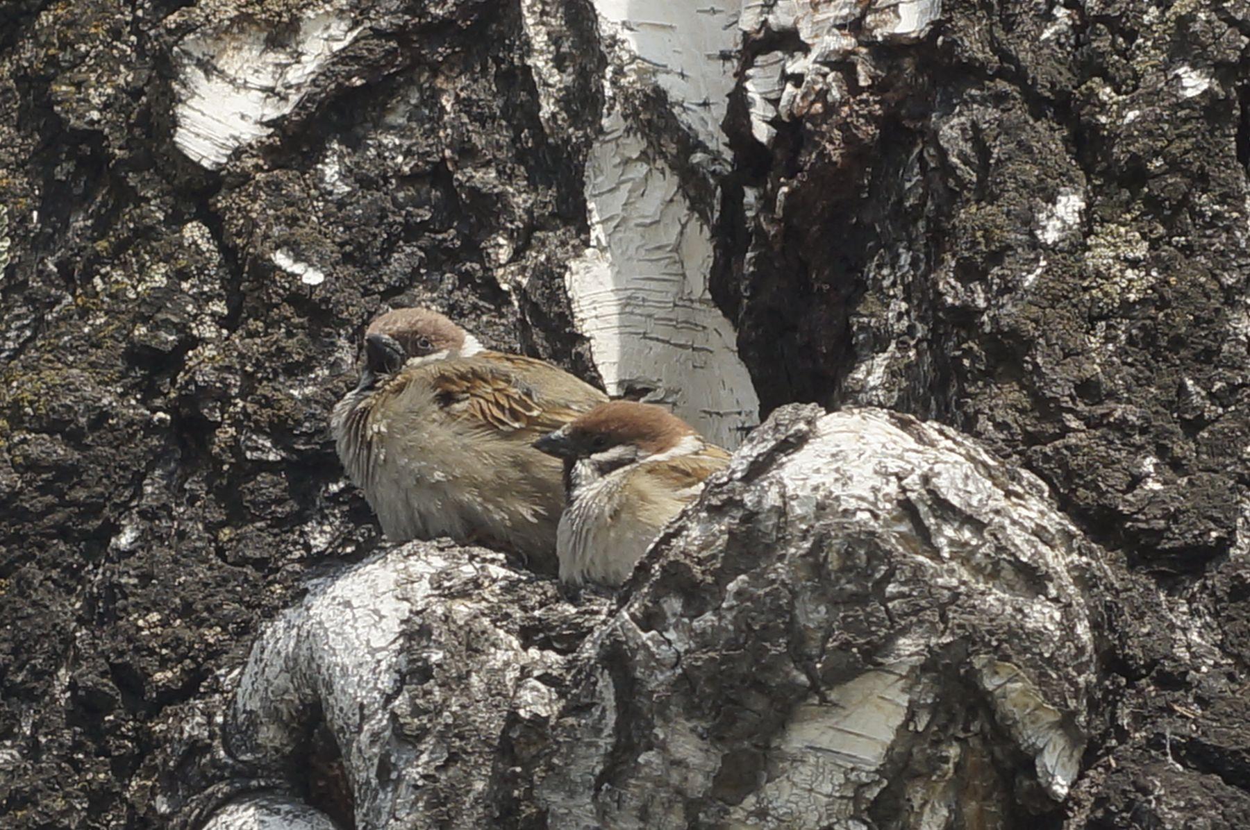 Парочка воробей птица весна береза гнездо